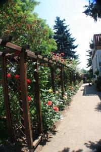 Unsere lange Rosenpergola ist jederzeit sehr schön - und daneben eine herrliche lange Rennstrecke für die Hunde.