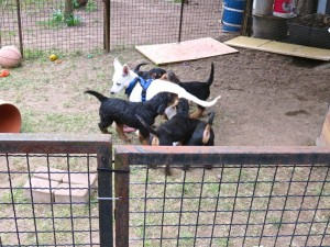 Die Tierärztin hatte ihren neuen Weissen Schäferhund-Welpen mit. das war ein Spass, mit unseren Typen zusammen!