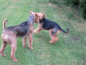 Sie rennen beide, spielen so richtig ausgelassen miteinander (Tempo - unscharfes Bild).
