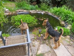 Und dann der Teich im Garten, Nessy geht erst mal vor, und Cati ist sehr interessiert.