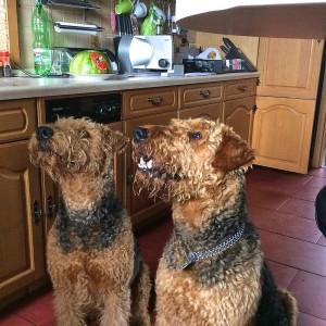 """Hier sind beide """"zu Besuch"""" in der Küche, voller Erwartung, typisch verfressen (rechts ist Sheriff)."""