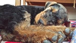 Herrlich, wie das Hundekind schläft - wir sind uns sicher (schon lange vorher), ihr geht es sehr gut.
