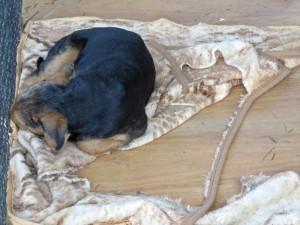 """Nach dem erlebnisreichen Tag war Ysco so """"geschafft"""", dass ich ihn in den grossen Auslauf auf seine Decke legen konnte, zum Weiterschlafen."""