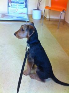 Vorbildlich !! Ysco beim Tierarzt im Wartezimmer -  gutes Benehmen ist angesagt.