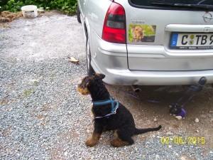 Und hier sitzt Yasko, an der Leine, ob erwähl warten will oder überlegt, wie er das Auto weg ziehen kann??