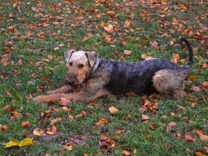 Hier liegt er im Herbstlaub auf der Wiese bei einem Spaziergang in einem Münchner Park.