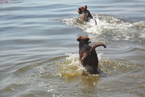 Rein ins Wasser - Ivo ist hier der Zweite, aber immer noch mit seinen 12,5 Jahren sehr aktiv und begeistert dabei.
