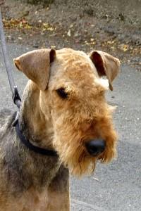 Hier von Rea eine Grossaufnahme - ein herrlicher Airedale-Terrier Kopf!