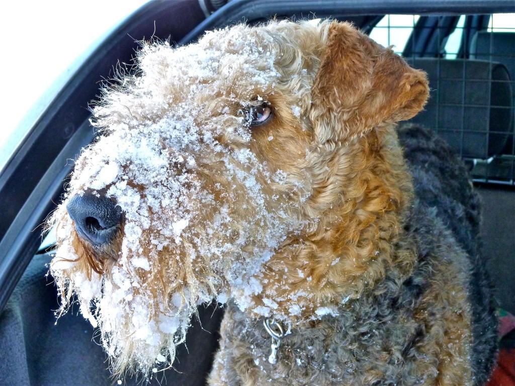 Unsere - meine Tina (Gretje vom Dippold) vor wenigen Jahren um diese Zeit, ein toller Hund und ein herrlicher Winter.