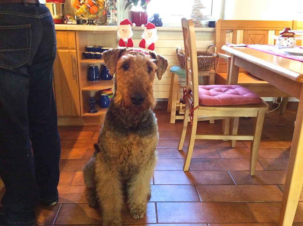 Unser-Basti, auch Weihnachtshund in Blumenberg bei Magdeburg, er überwacht in der Küche das Zubereiten des Festbratens - hat alles im Blick.