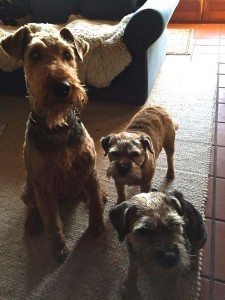2 Bordre-Terrier sind ihre besten Freunde und Spielgesellen geworden