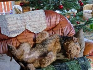 Das ist Mara's Lieblingsstellung, sie schläft fast immer auf dem Rücken, oft noch ein steifes Bein, oder der Kopf hängt runter.
