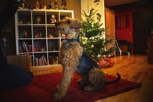Wasco zu Weihnachten - mich beeindruckt immer seine aufrechte, stolze Haltung.