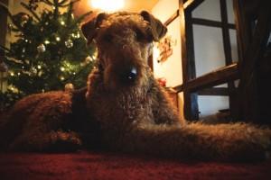 Genüsslich liegt Wasco vor dem Weihnachtsbaum, sehr schön anzusehen.