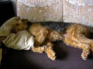 Und so schläft unser Hundekind in Schmiedeberg in ihren Geburtstag hinein, ganz toll mit Kopfkissen und auf einer Decke - man könnte gleich auch müde werden.