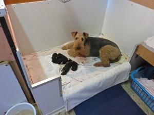 Nessy in ihrer Wurfbox - es sind schon mehrere Welpen, sie wartet wie wir gespannt, was da noch alles geschieht.