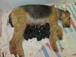 Wenn man hier genau nachzählt, da findet man schon 7 kleine Airedale-Mädchen, vereint bei Mama an der Theke!