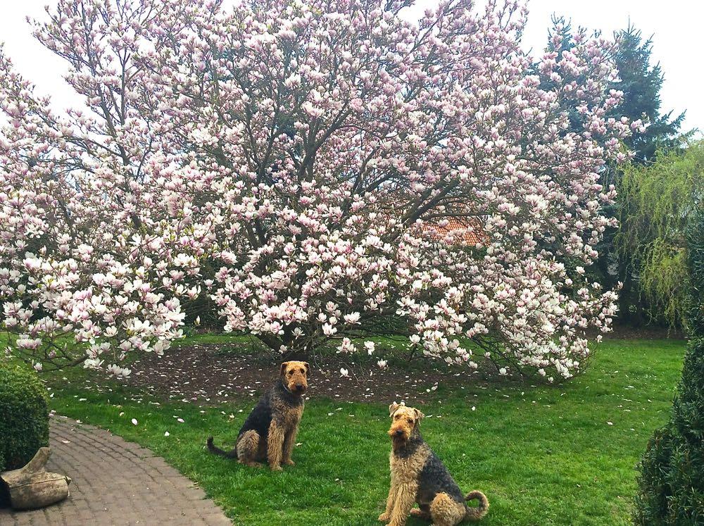 Diese herrliche Blütenpracht (und die beiden schönen und lieben Rüden) sind einfach nur zu bewundern!
