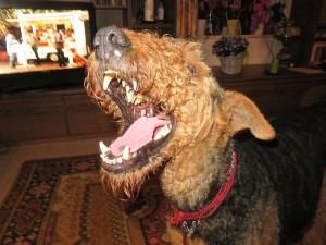 """Die Pose kenne ich, Mara """"lacht"""". Hundefreunde kennen das, so richtig die Levzen zurück, bis die Zähne alle zu sehen sind. Manchmal noch deutlicher!"""