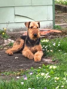 Noris vom Diplom, ein sehr schöner und besonders lieber Hund von uns in Österreich.