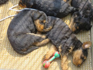 Immer mehr finden sich in einer Ecke des Auslaufs, und kuscheln sich zum Schlafen, der Hundeberg wird immer grösser.
