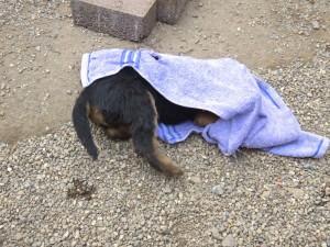 Ein altes Handtuch, so ein Spass, es hat nun schon ein Loch und etwas später waren es nur noch Teile. Aber Vorsicht, schlechtes Beispiel, ist kein Spielzeug, nicht das Zerreißen lernen!!