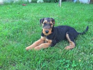 Zora ist eine sehr schöne jumge Airedale-Terrier Hündin.