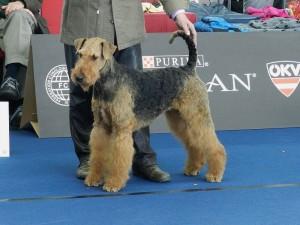 Das ist auch das Herrchen Krebs (nur der untere Teil), 2012 zur Hunde-Weltausstellung mit Tamara vom Dippold (86 Airedales, wir Zwischenklasse Hündin 2. Platz) auch ... kaum zu glauben!