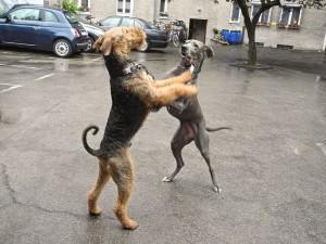 Männerballett in München, unser Robin, er liebte alle Hunde und kam mit ihnen sehr gut aus. Nun wohnt er auf dem Land und ist auch glücklich.