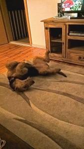 Und hier, wie so viele Hunde von uns, auch aus dem Z-Wurf ein Rückenschläfer!