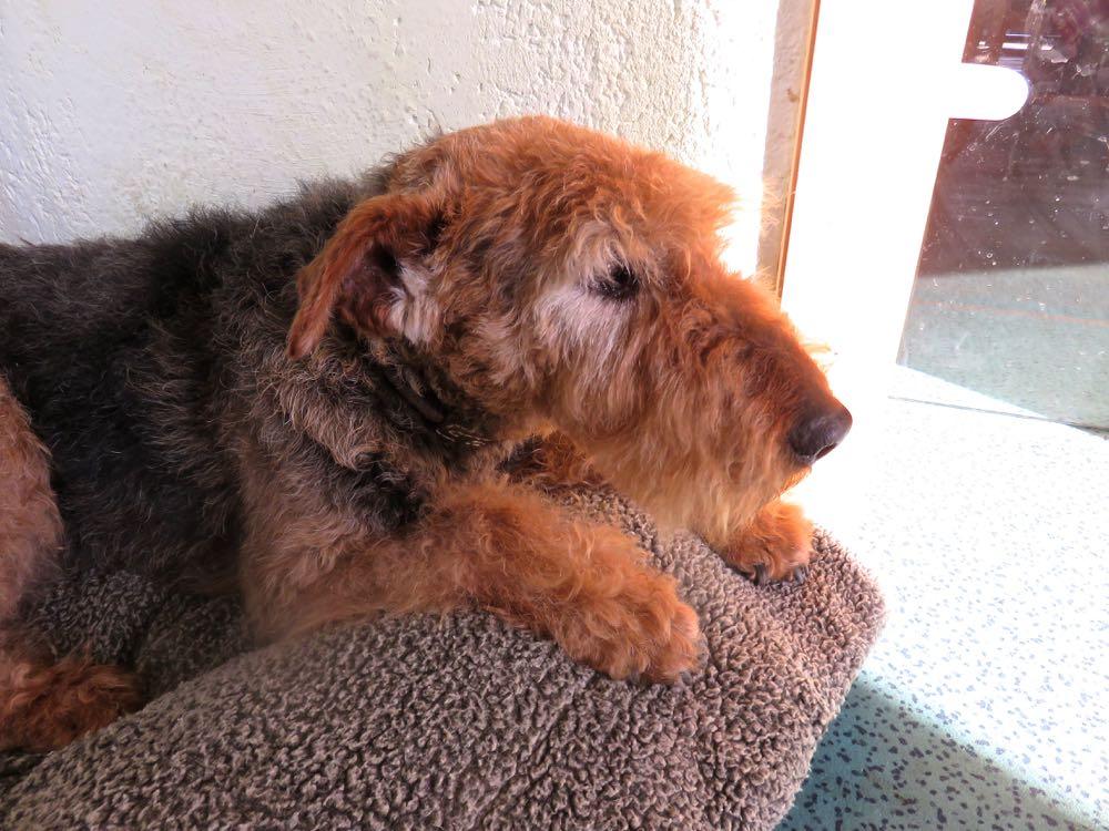 Ist das nicht ein schöner alter Hund, die Augenumrandung ist weiss, an den Ohren ist es auch so, sonst das Fell in Farbe und Struktur - eine Pracht.