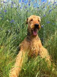 Hier kamen 2 herrliche Bilder mit, aus etwas früheren Zeiten, da sieht man so richtig den typischen Airedale-Terrier - sehr schön.