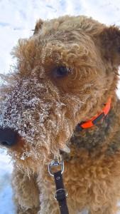 """Tief in den Schnee, seine """"Welt"""". Wotan ist gross, sehr temperamentvoll, gutmütig und ein herrlicher Vertreter seiner Rasse."""