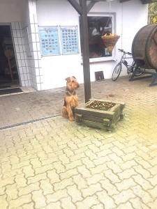 """Oskar ist tagsüber bei den Eltern von Frauchen in der Gerberei - hat dort """"viel zu tun"""". Gegen 17 Uhr wird er abgeholt und sitzt da schon (hat er eine Uhr ?) und wartet auf Frauchen."""
